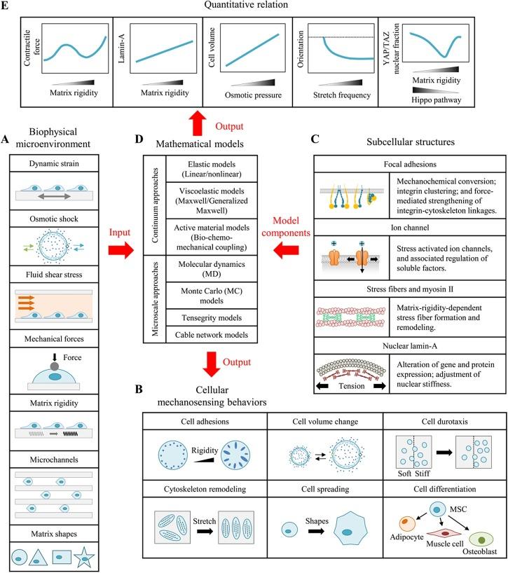 Cellular mechanosensing of the biophysical microenvironment