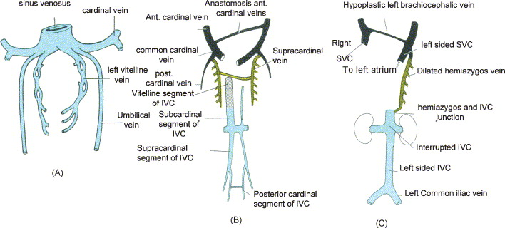 b development of inferior vena cava the azygos vein and the superior vena cava in the 7th week of pregnancy