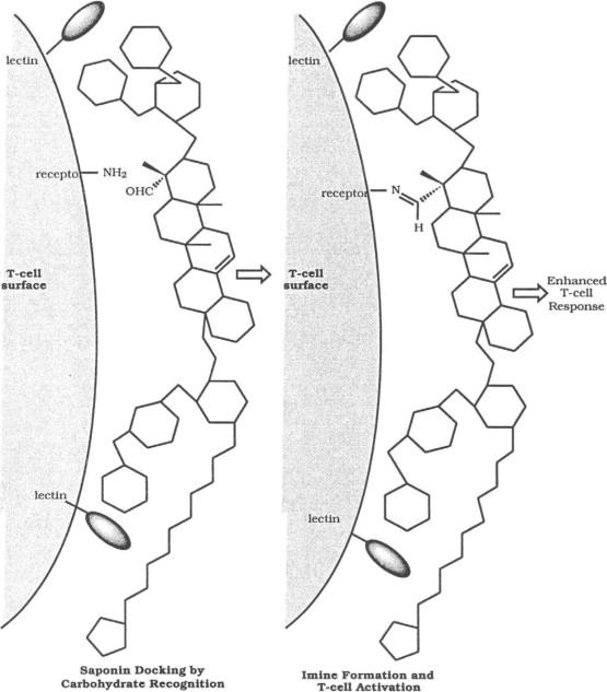 Function Relationships Of Immunostimulating Saponins
