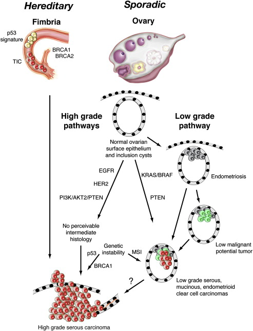 Hereditary Ovarian Carcinoma Heterogeneity Molecular Genetics Pathology And Management Sciencedirect