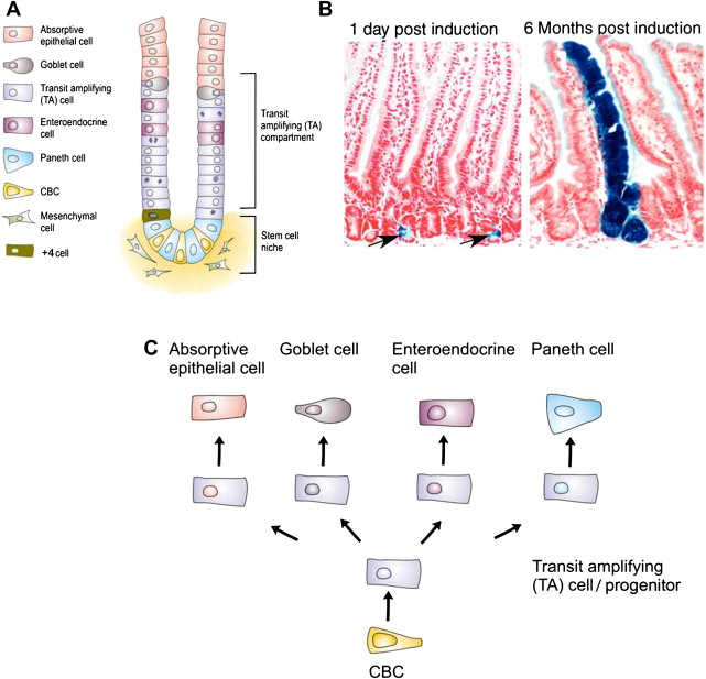 Stem cells and cancer of the stomach and intestine - ScienceDirect