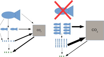 Potential role of predators on carbon dynamics of marine