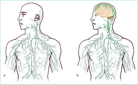 Verbindung von Gehirn und Lymphsystem: neue Erkenntnisse und ihre ...