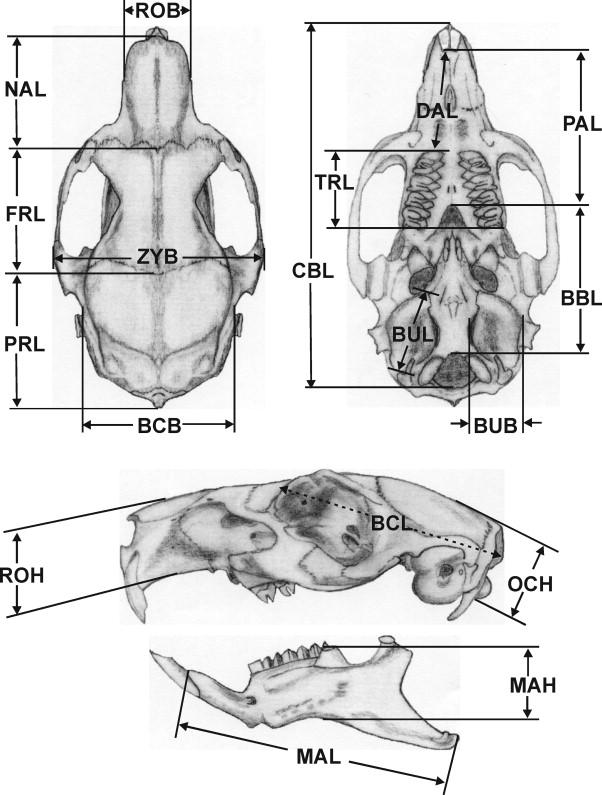 Comparative Allometric Investigations On The Skulls Of Wild Cavies