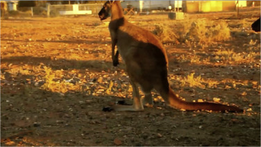 Red Kangaroo Size Comparison