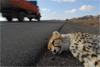 Road expansion: A challenge to conservation of mammals, with