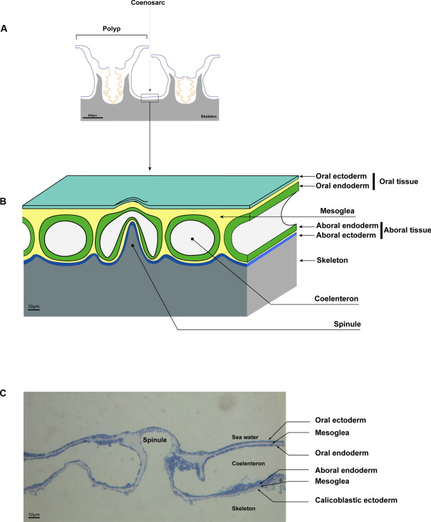 Biomineralisation In Reef Building Corals From Molecular Mechanisms