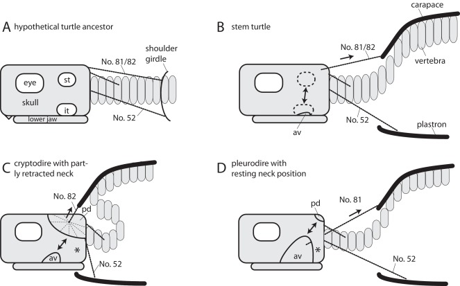 Neck Motion In Turtles And Its Relation To The Shape Of The Temporal