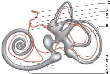 Anatomía del oído interno - ScienceDirect
