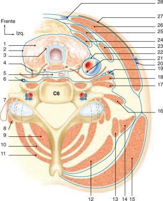 Anatomía y fisiología de la tráquea - ScienceDirect