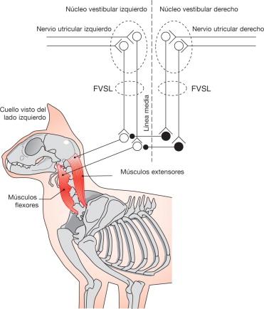 Anatomía de las vías vestibulares centrales - ScienceDirect