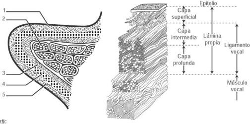 Fisiología de la fonación - ScienceDirect