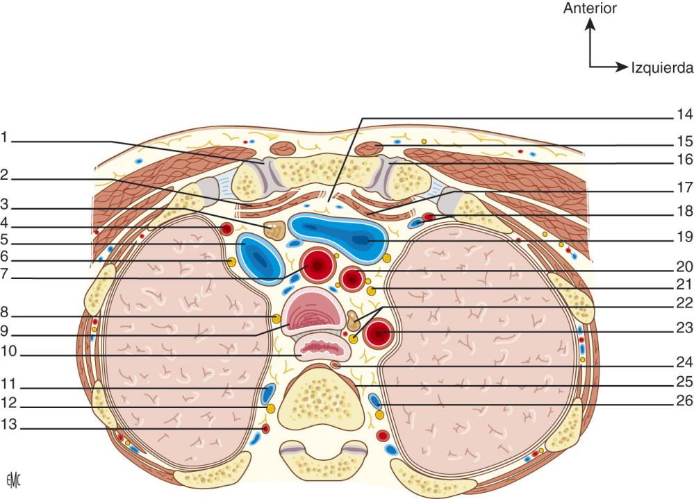 Anatomía, fisiología, endoscopia y pruebas de imagen de la tráquea ...