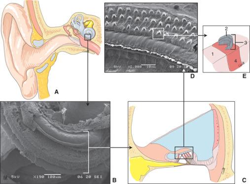 Fisiología coclear: bases anatómicas, celulares y ...