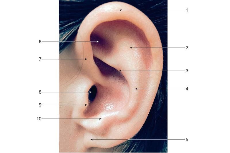Anatomía y fisiología del oído externo - ScienceDirect