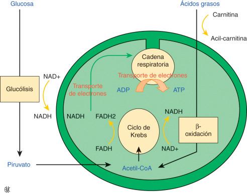 Diagrama de fisiopatología de la diabetes insípida de la esclerosis múltiple