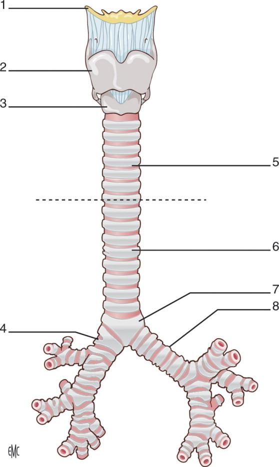 Trachea Anatomia Fisiologia Endoscopia E Diagnostica Per Immagini