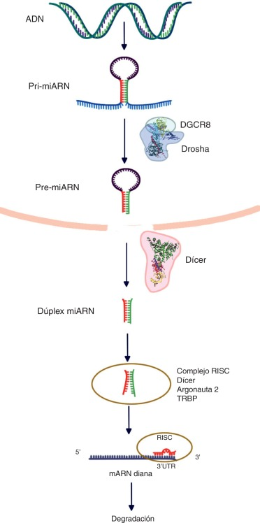 micrornas y cáncer de próstata
