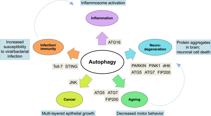 Understanding the importance of autophagy in human diseases