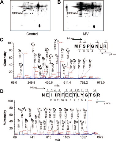 1 s2.0 S1674205214600757 gr1 carbonylation and loss of function analyses of sbpase reveal its  at suagrazia.org