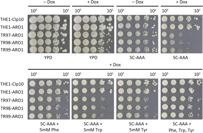Candida albicans Aro1 affects cell wall integrity, biofilm