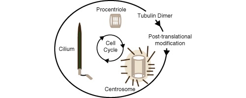 centrosome structure and function