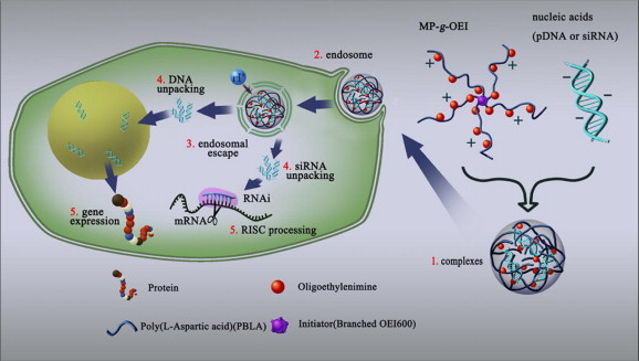 Multi-armed poly(aspartate-g-OEI) copolymers as versatile carriers