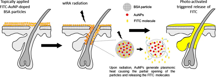 Triggered release of model drug from AuNP-doped BSA nanocarriers in