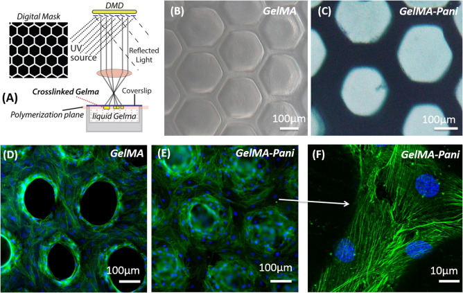 Fabrication of conductive gelatin methacrylate–polyaniline hydrogels