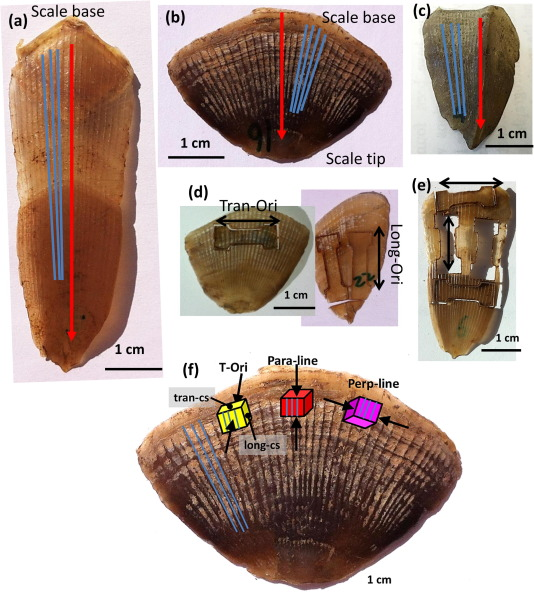 pangolin armor overlapping structure and mechanical properties of
