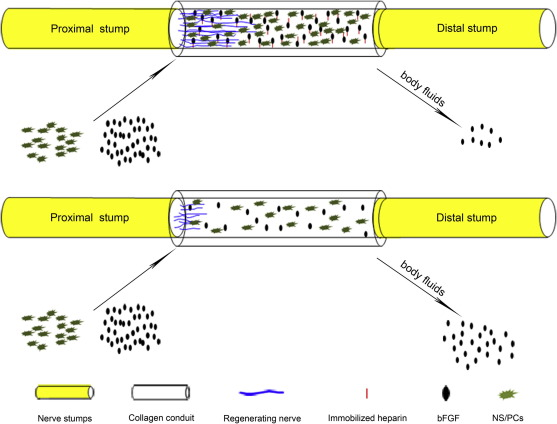 Neural stem/progenitor cells on collagen with anchored basic