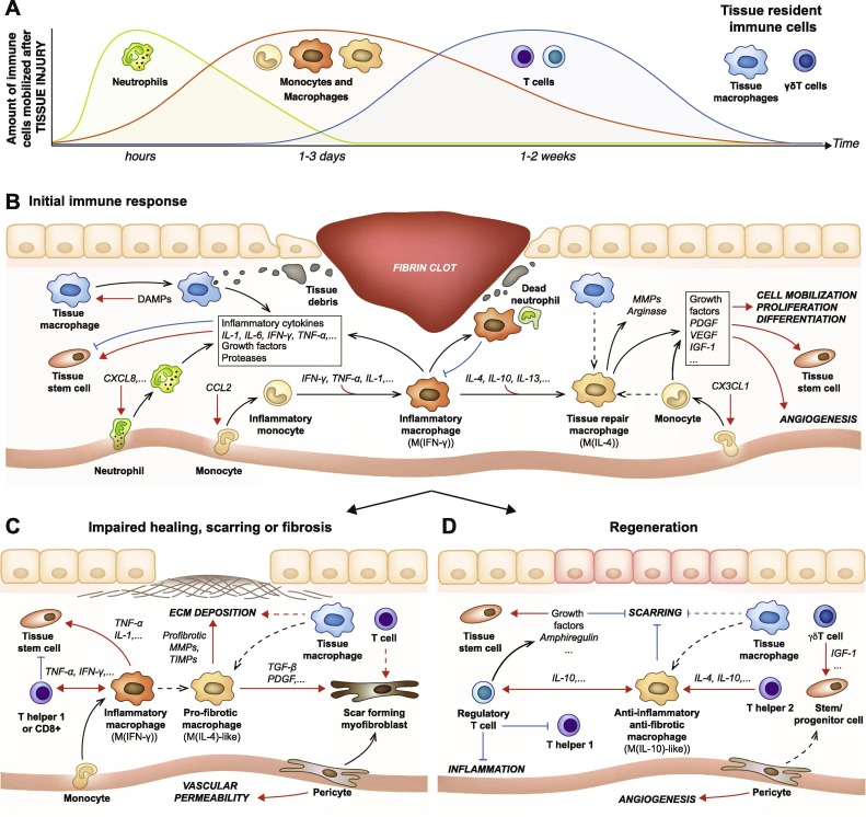 Immune System May Play Crucial Role In >> Promoting Tissue Regeneration By Modulating The Immune System