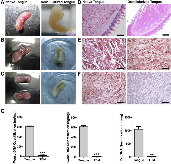 Decellularized tongue tissue as an in vitro model for
