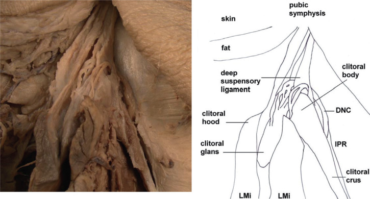 The Somatic And Autonomic Innervation Of The Clitoris Preliminary