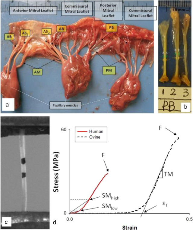 Characterization of biomechanical properties of aged human and ovine ...