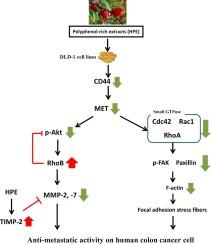 Hibiscus Sabdariffa Polyphenol Enriched Extract Inhibits Colon Carcinoma Metastasis Associating With Fak And Cd44 C Met Signaling Sciencedirect