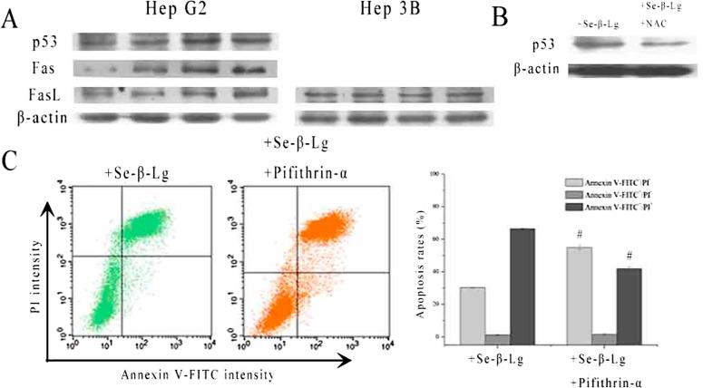 Apoptosis and autophagy induction of Seleno-β-lactoglobulin