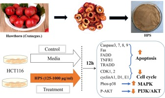 Anti Cancer Potential Of Polysaccharide Extracted From Hawthorn Crataegus On Human Colon Cancer Cell Line Hct116 Via Cell Cycle Arrest And Apoptosis Sciencedirect