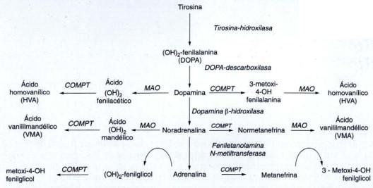 La hipersecreción de catecolaminas puede provocar la etapa de hipertensión