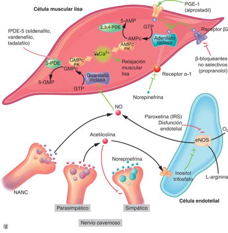 mecanismo de disfunción eréctil de betabloqueantes