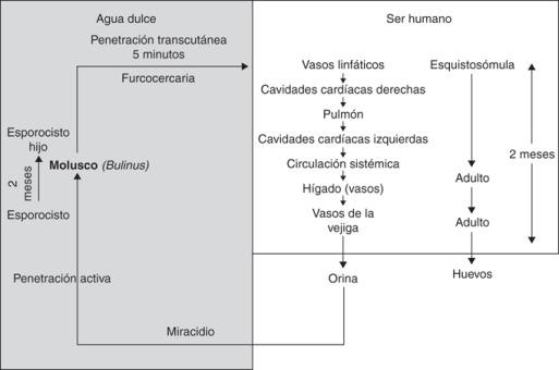 calcificaciones prostáticas mediana del surco de la