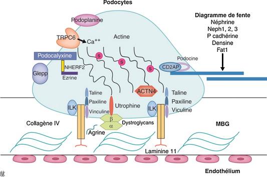 Syndromes néphrotiques idiopathiques : physiopathologie et prise en ...