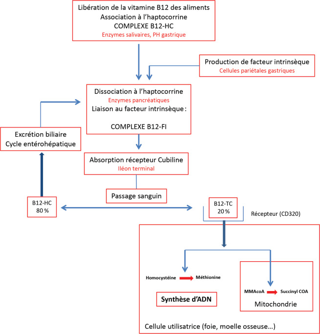 Les Vitamines B9 Et B12 Role Metabolique Etiologies Et Consequences Des Carences Methodes D Exploration Et Recommandations Nutritionnelles Sciencedirect