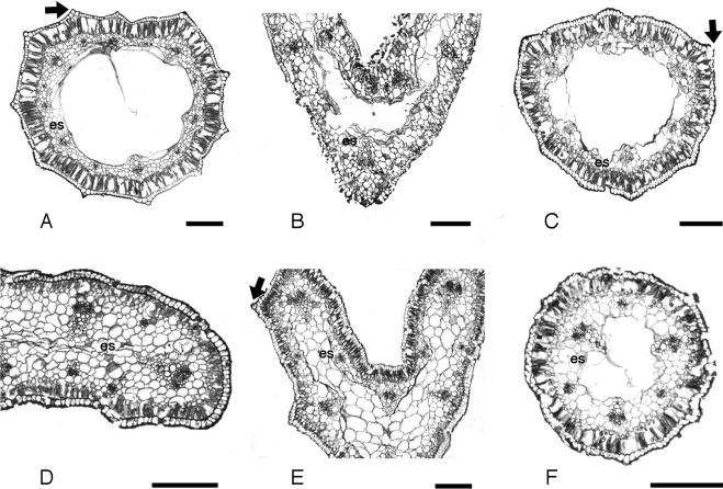 Morfología y anatomía foliar de los géneros del complejo Milla ...