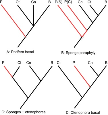 Early Sponge Evolution A Review And Phylogenetic Framework
