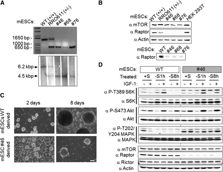 Differentiation of glutamatergic neurons from mouse