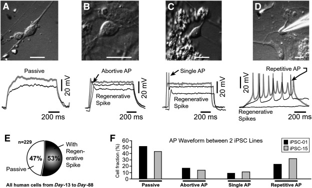 Patch-clamp recordings and calcium imaging followed by