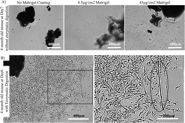 Efficient and high yield isolation of myoblasts from
