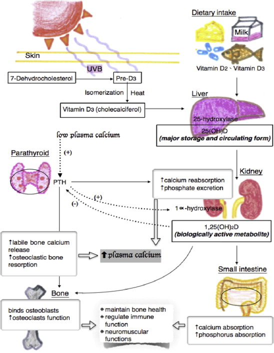 Calcium And Vitamin D Supplementation On Bone Health Current