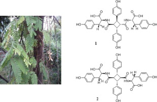 Abrusamide A And B Two Hepatoprotective Isomeric Compounds From